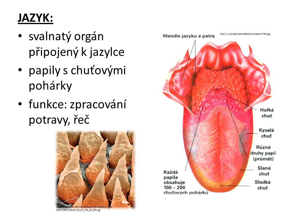 svalnatý orgán připojený k jazylce papily s chuťovými pohárky