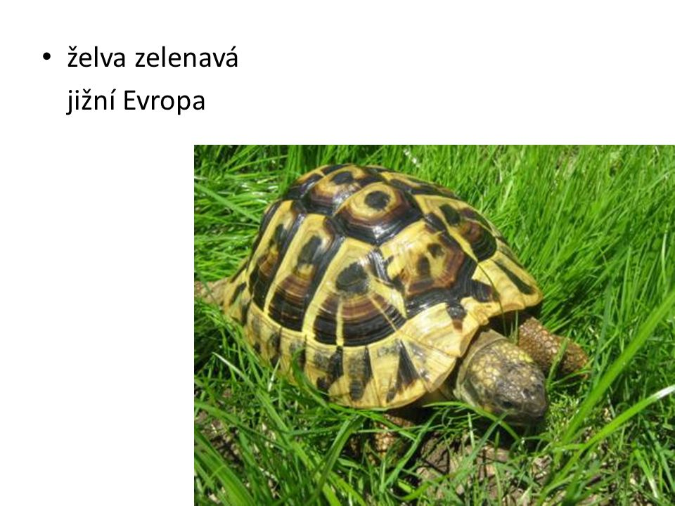 želva zelenavá jižní Evropa