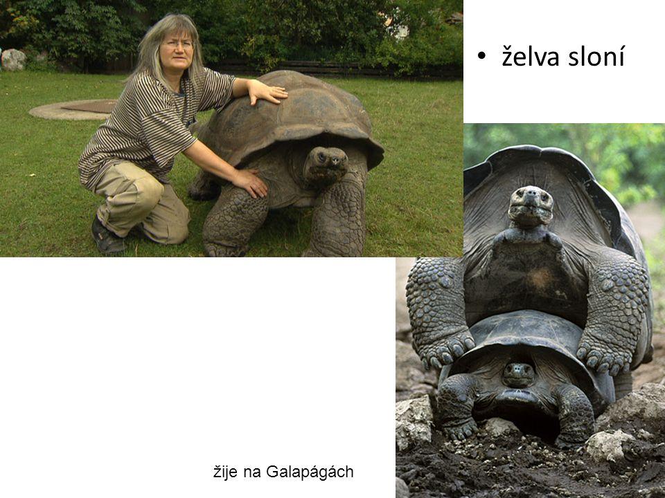 želva sloní žije na Galapágách