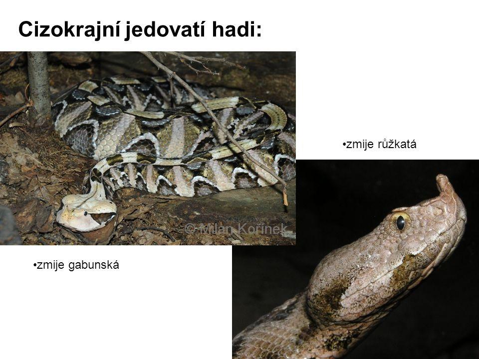 Cizokrajní jedovatí hadi: