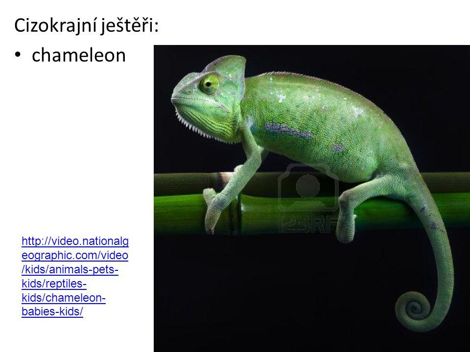 Cizokrajní ještěři: chameleon