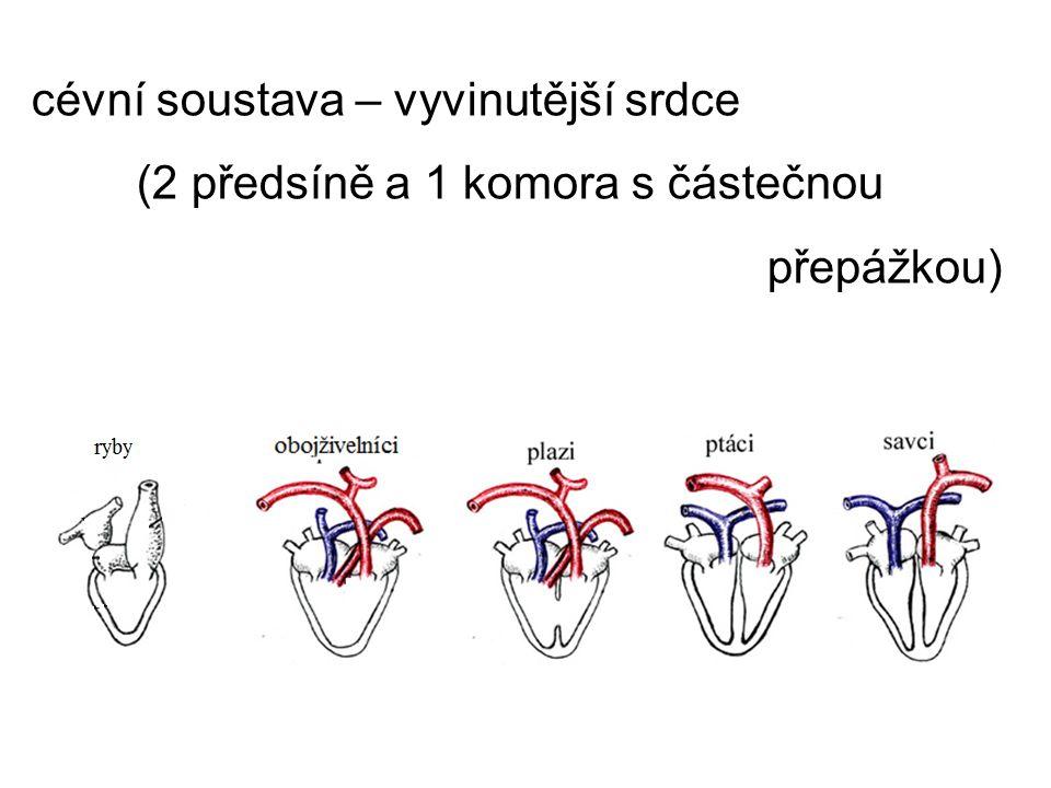 cévní soustava – vyvinutější srdce