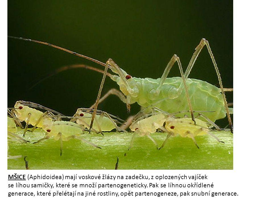 MŠICE (Aphidoidea) mají voskové žlázy na zadečku, z oplozených vajíček