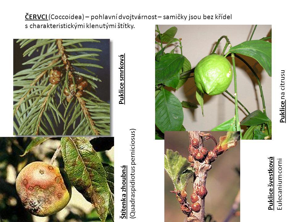 ČERVCI (Coccoidea) – pohlavní dvojtvárnost – samičky jsou bez křídel