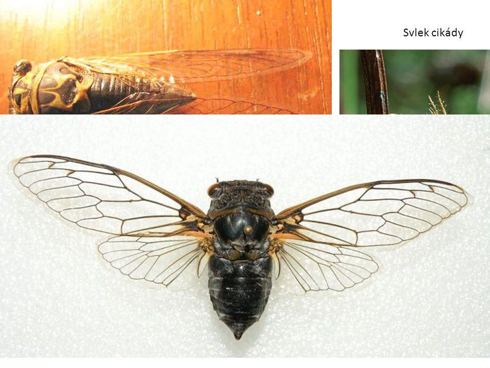 Svlek cikády Cikáda sp. (Cicada sp.) Nymfy žijí v půdě, náznak holometabolie. Samci vydávají velmi nápadné cvrčivé zvuky.