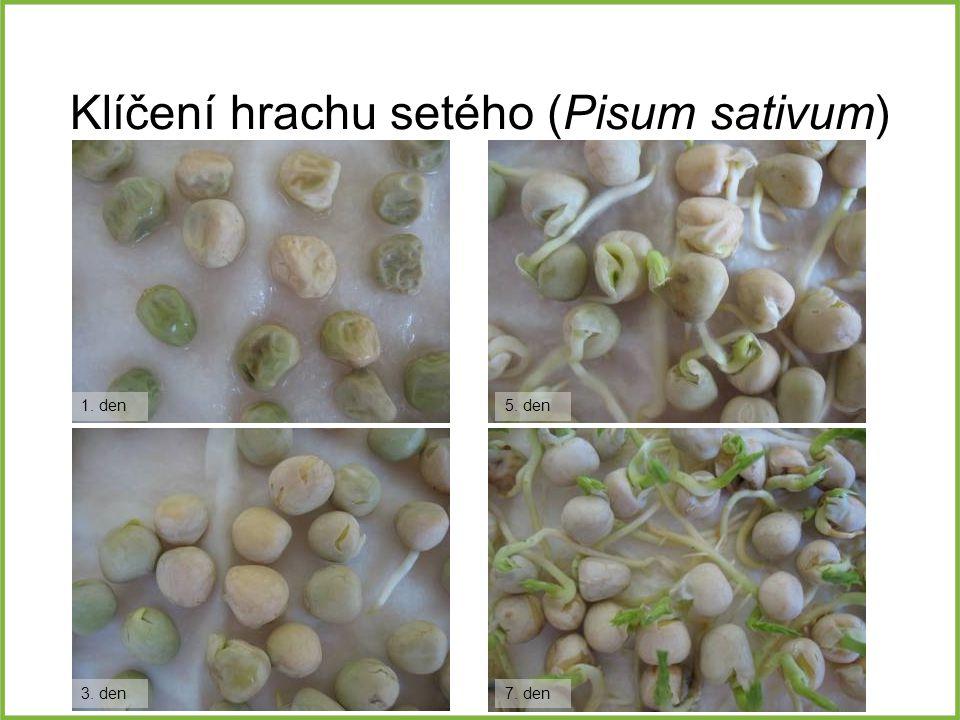 Klíčení hrachu setého (Pisum sativum)