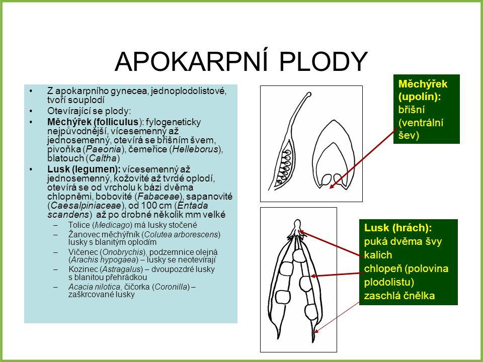 APOKARPNÍ PLODY Měchýřek (upolín): břišní (ventrální šev)