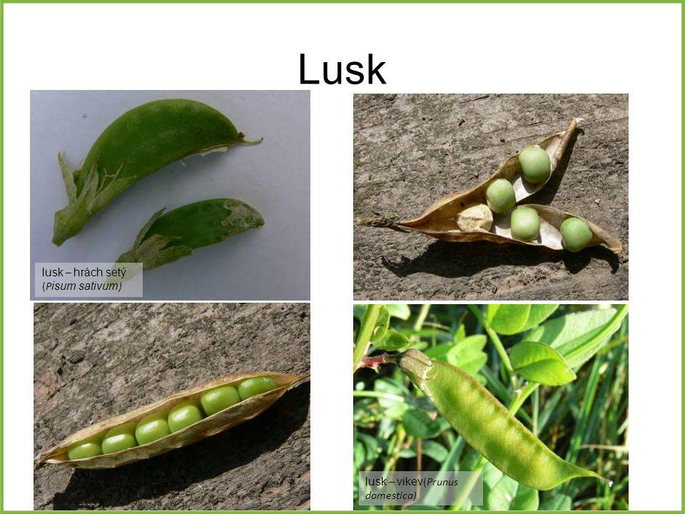 Lusk lusk – hrách setý (Pisum sativum) lusk – vikev(Prunus domestica)
