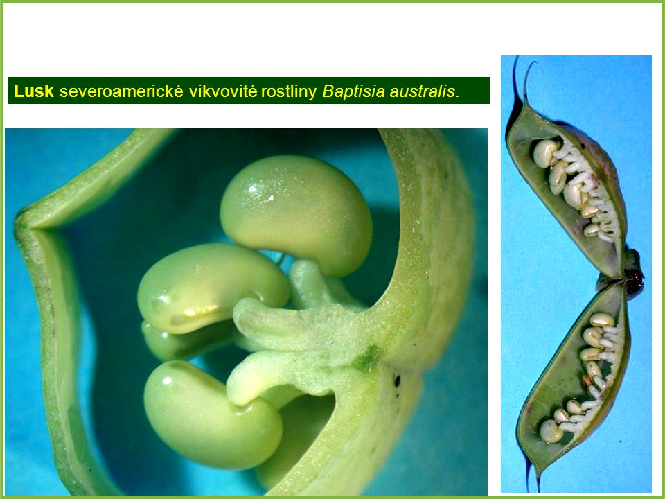 Lusk severoamerické vikvovité rostliny Baptisia australis.