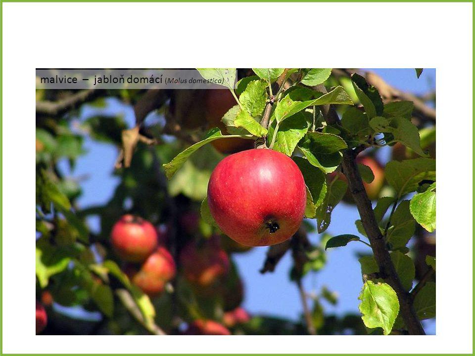 malvice – jabloň domácí (Malus domestica)