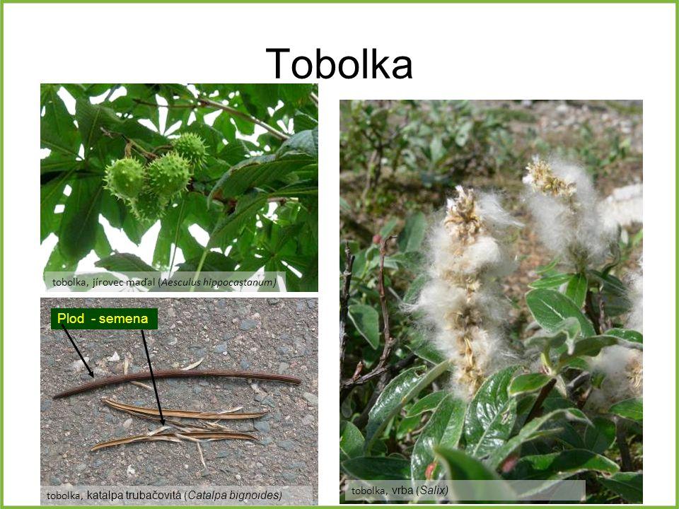 Tobolka Plod - semena tobolka, jírovec maďal (Aesculus hippocastanum)
