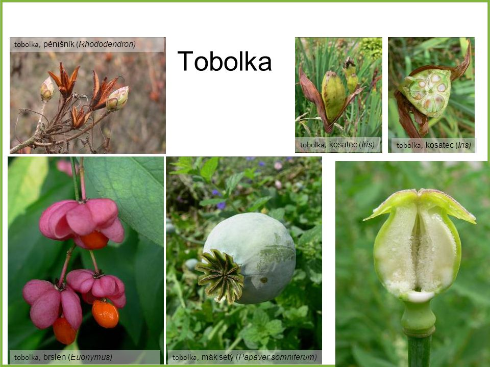 Tobolka tobolka, pěnišník (Rhododendron) tobolka, kosatec (Iris)