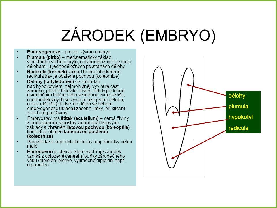 ZÁRODEK (EMBRYO) dělohy plumula hypokotyl radicula