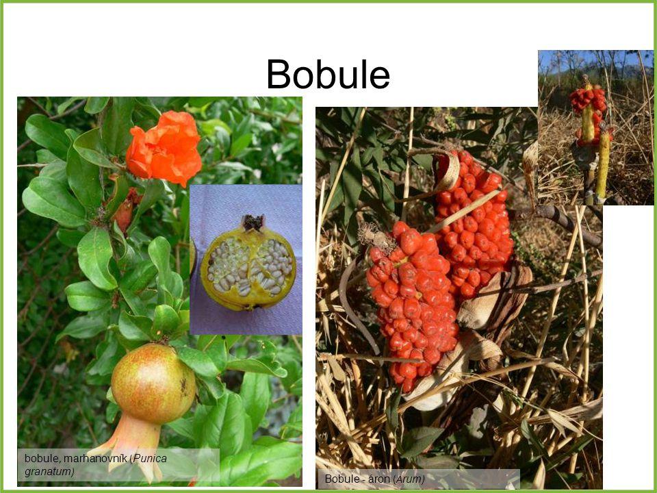 Bobule bobule, marhanovník (Punica granatum) Bobule - áron (Arum)