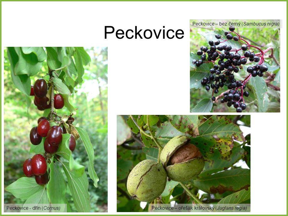 Peckovice Peckovice – bez černý (Sambucus nigra)