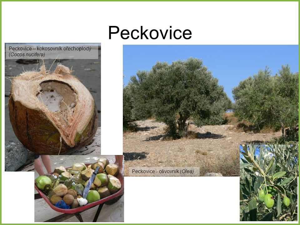 Peckovice Peckovice – kokosovník ořechoplodý (Cocos nucifera)