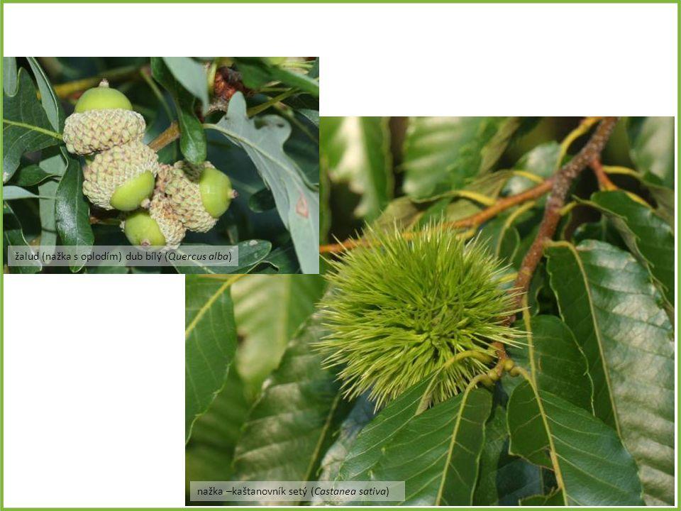 žalud (nažka s oplodím) dub bílý (Quercus alba)
