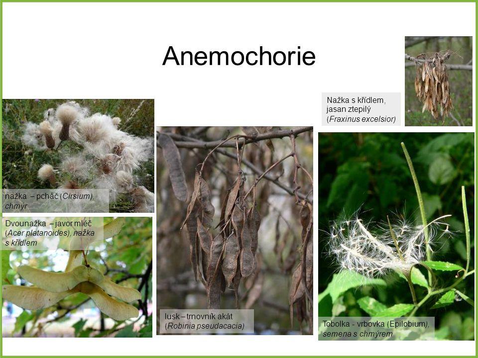 Anemochorie Nažka s křídlem, jasan ztepilý (Fraxinus excelsior)