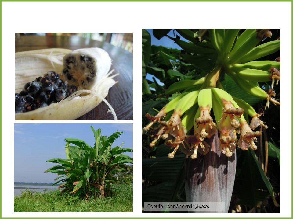 Bobule – banánovník (Musa)