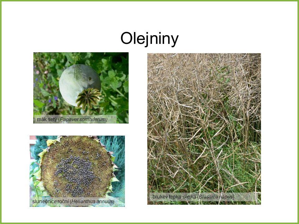 Olejniny mák setý (Papaver somniferum)