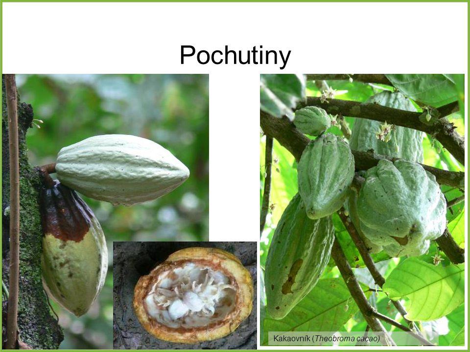 Pochutiny Kakaovník (Theobroma cacao)