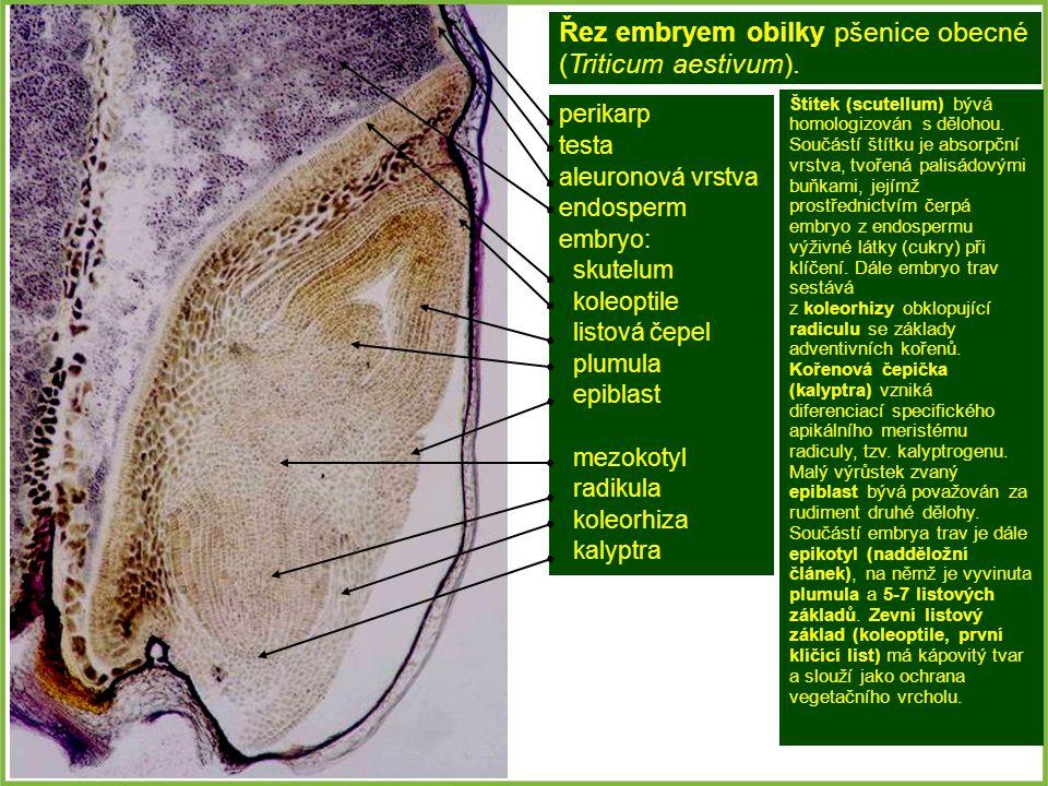 Řez embryem obilky pšenice obecné (Triticum aestivum).