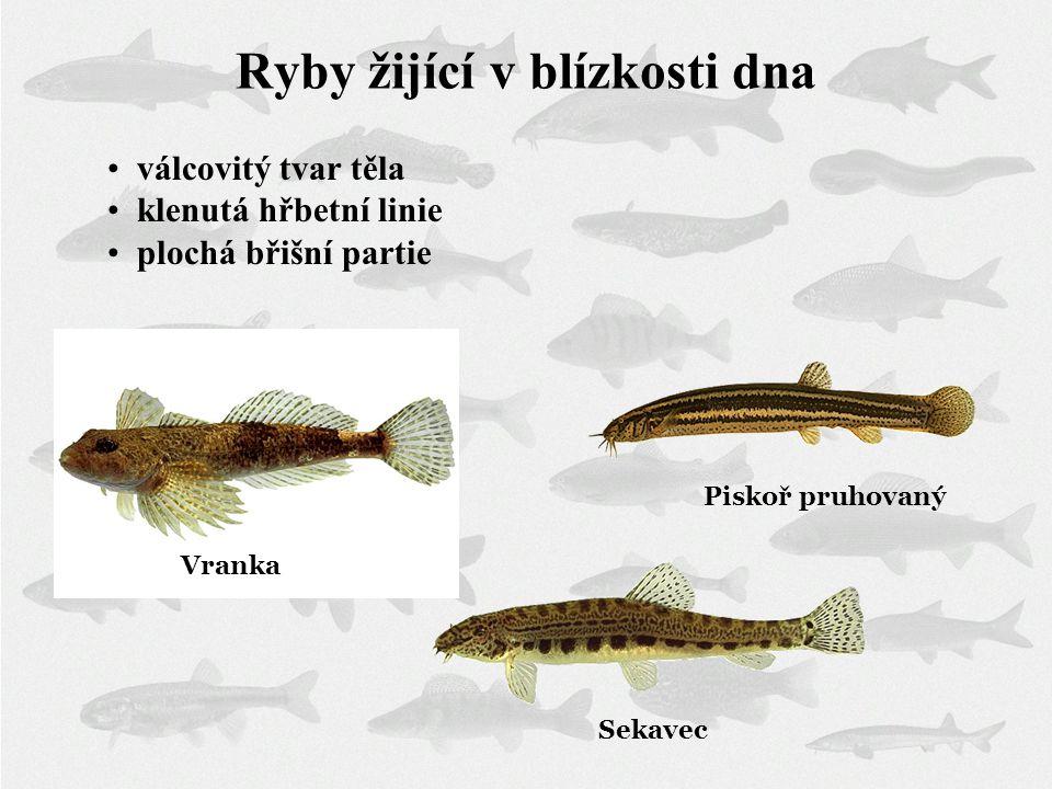 Ryby žijící v blízkosti dna