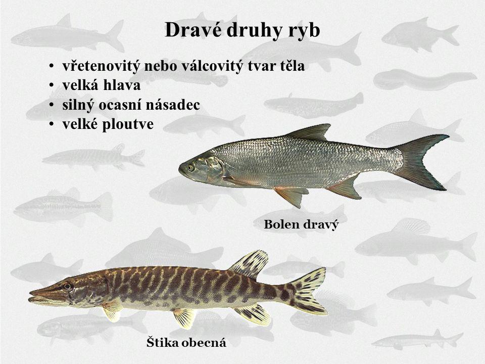 Dravé druhy ryb vřetenovitý nebo válcovitý tvar těla velká hlava