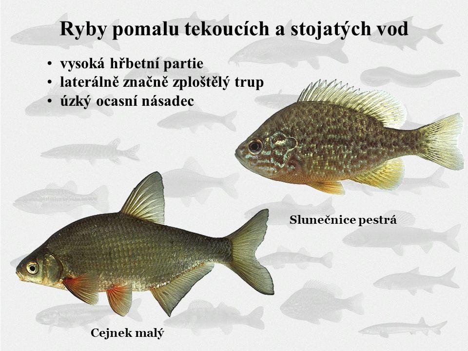 Ryby pomalu tekoucích a stojatých vod