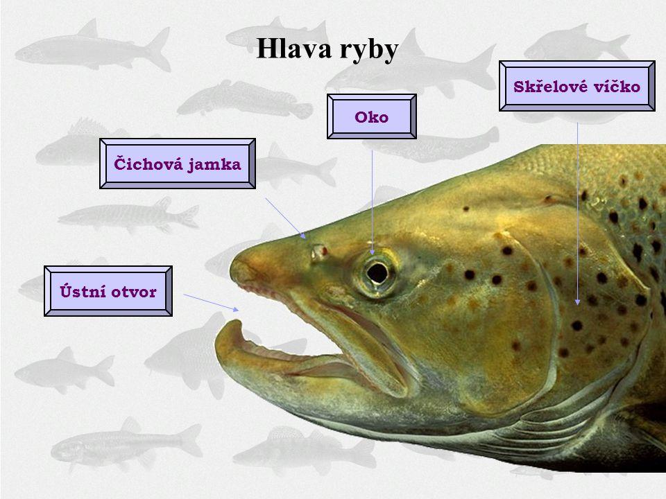Hlava ryby Skřelové víčko Oko Čichová jamka Ústní otvor
