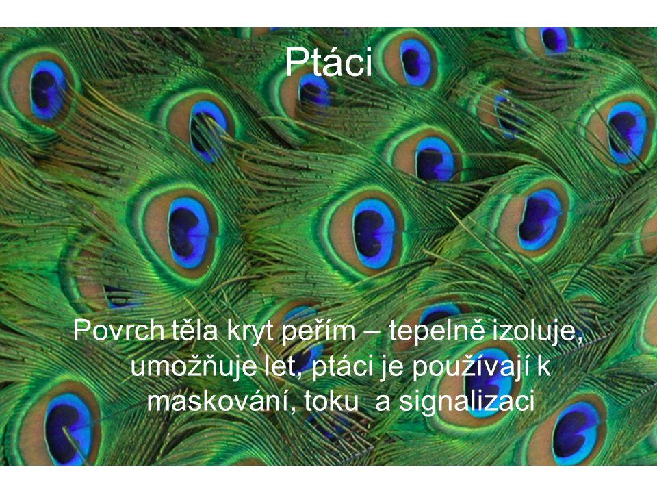 Ptáci Povrch těla kryt peřím – tepelně izoluje, umožňuje let, ptáci je používají k maskování, toku a signalizaci.