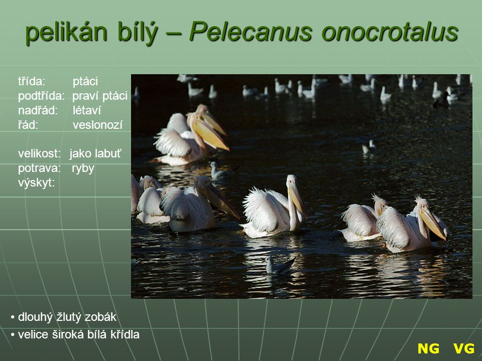 pelikán bílý – Pelecanus onocrotalus
