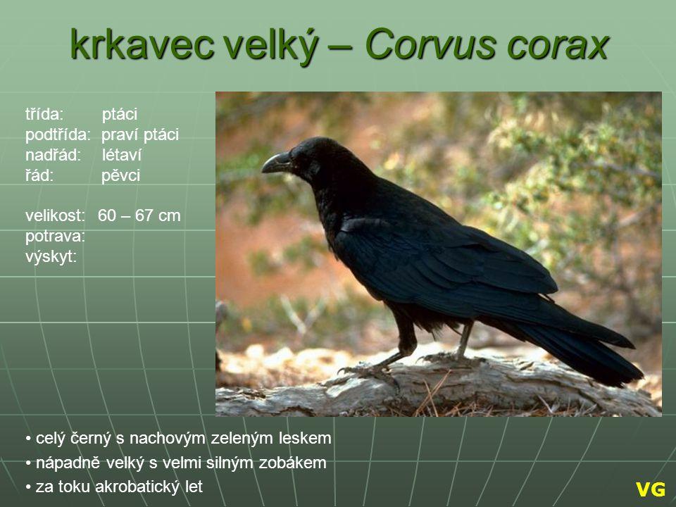 krkavec velký – Corvus corax