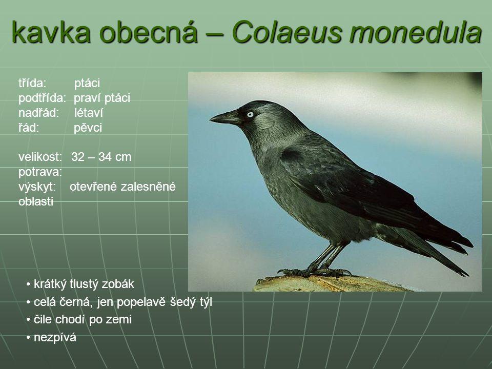 kavka obecná – Colaeus monedula