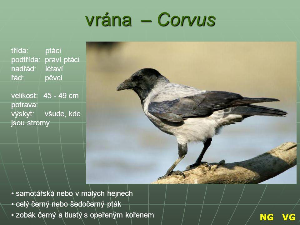 vrána – Corvus NG VG třída: ptáci podtřída: praví ptáci nadřád: létaví