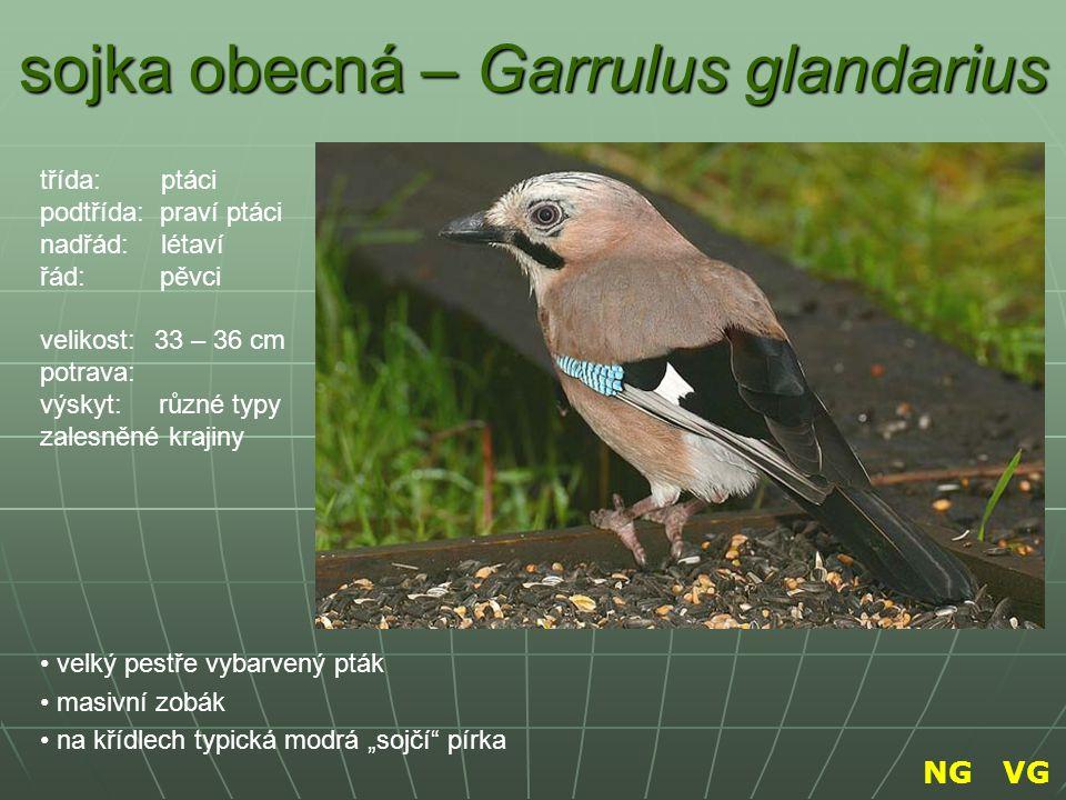 sojka obecná – Garrulus glandarius