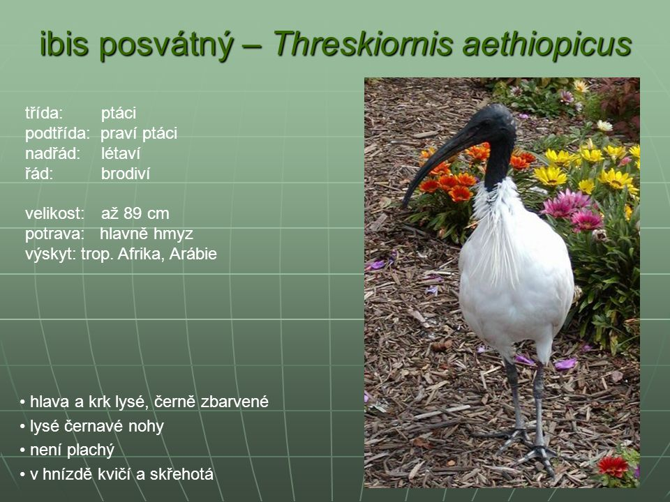 ibis posvátný – Threskiornis aethiopicus