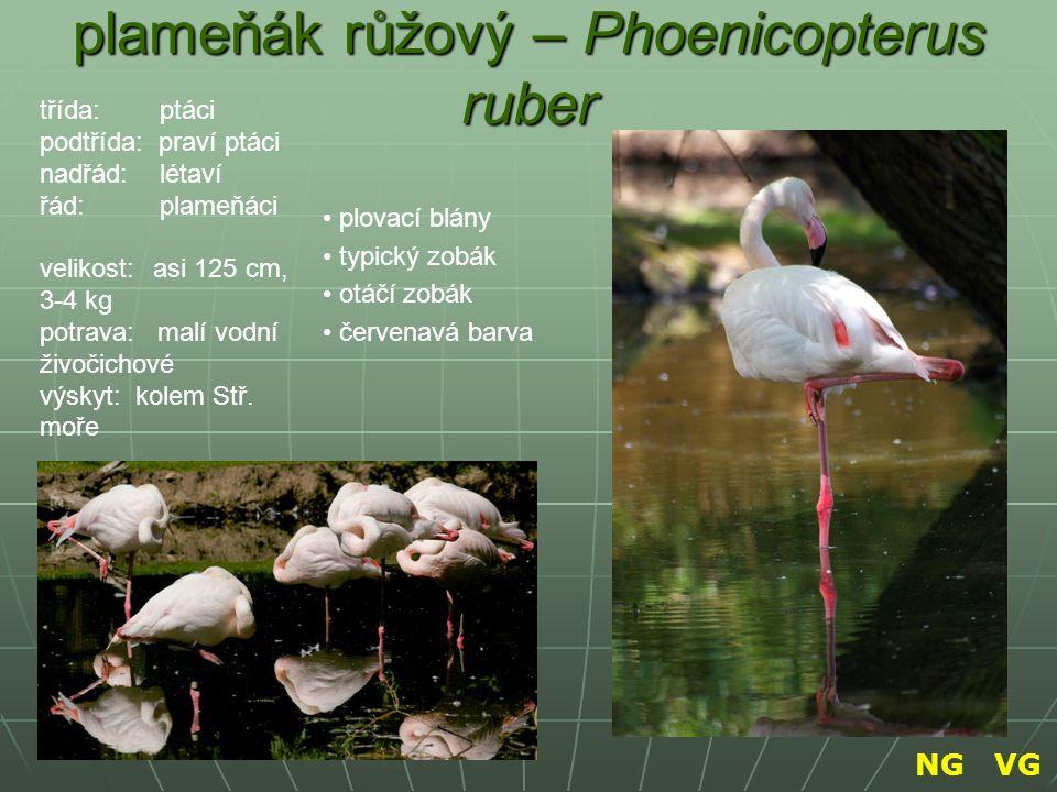 plameňák růžový – Phoenicopterus ruber