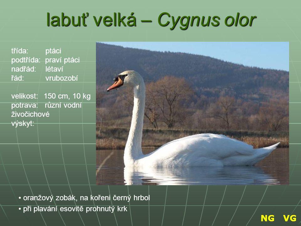 labuť velká – Cygnus olor