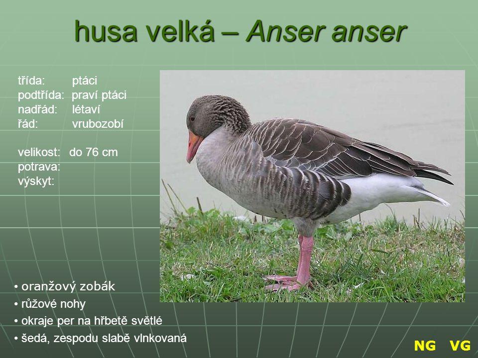 husa velká – Anser anser