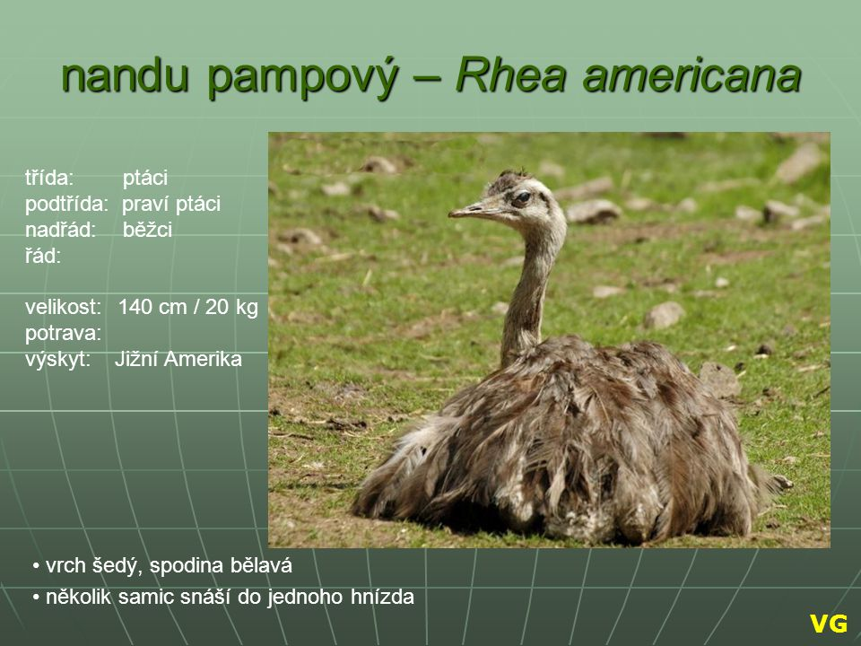 nandu pampový – Rhea americana