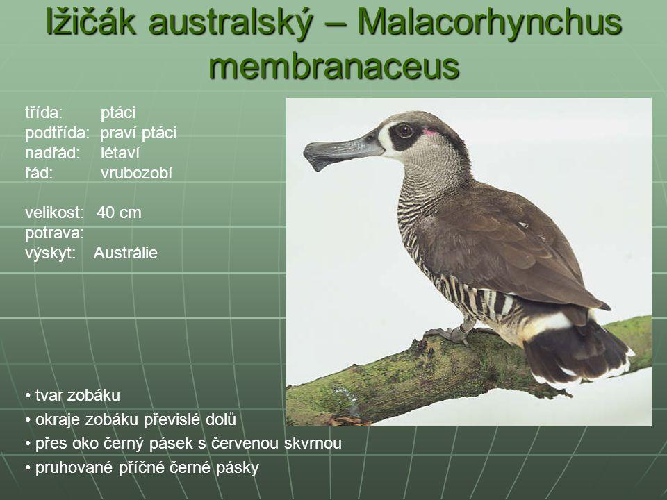 lžičák australský – Malacorhynchus membranaceus