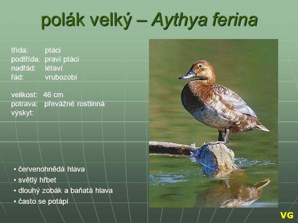 polák velký – Aythya ferina