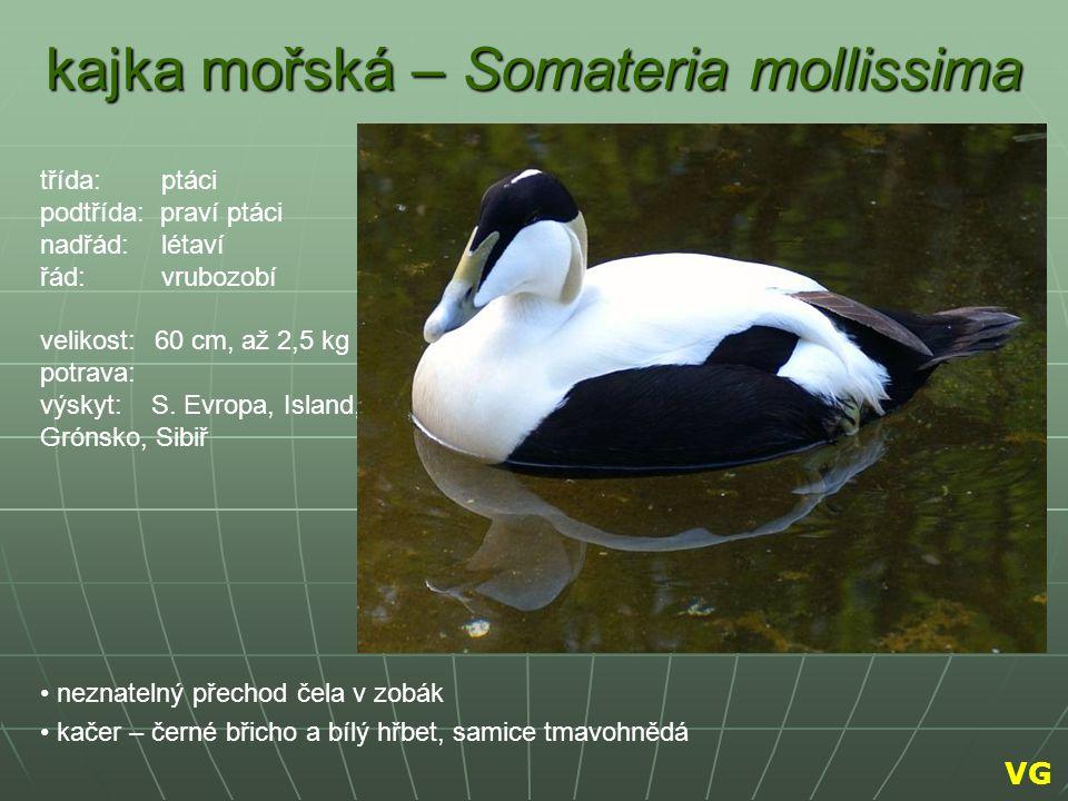 kajka mořská – Somateria mollissima