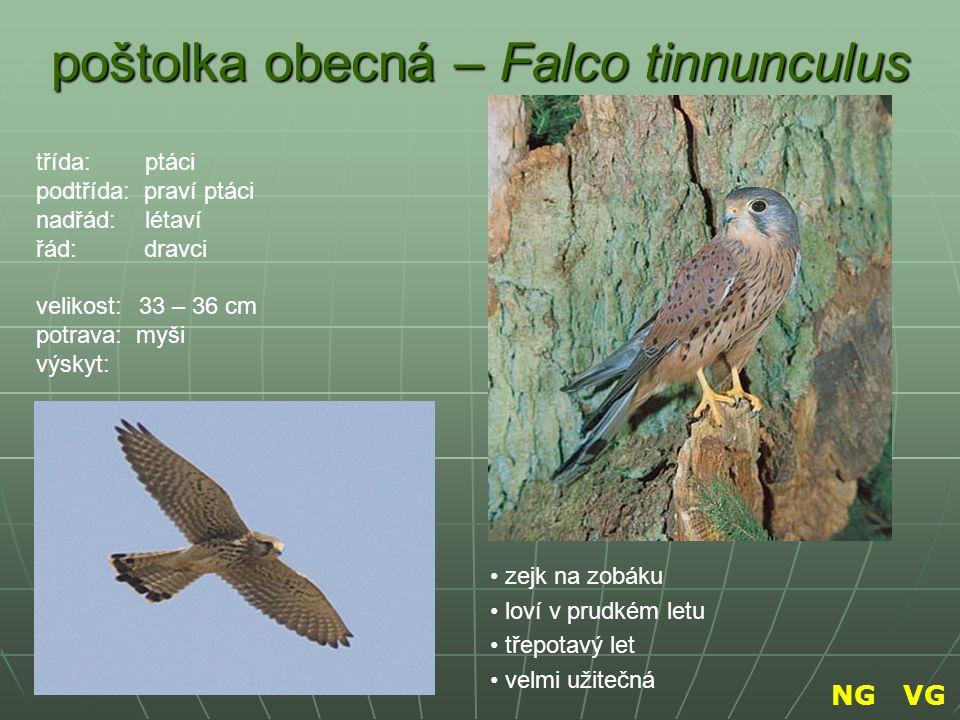 poštolka obecná – Falco tinnunculus