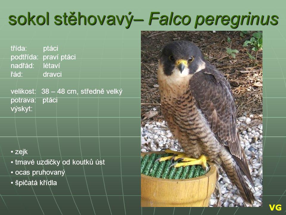 sokol stěhovavý– Falco peregrinus