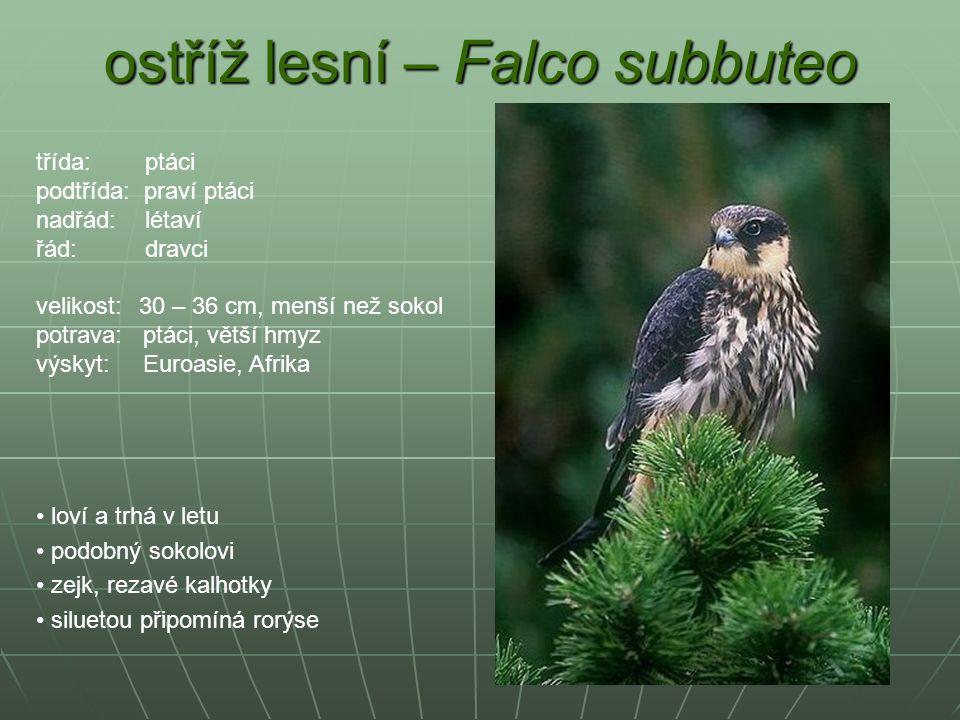 ostříž lesní – Falco subbuteo