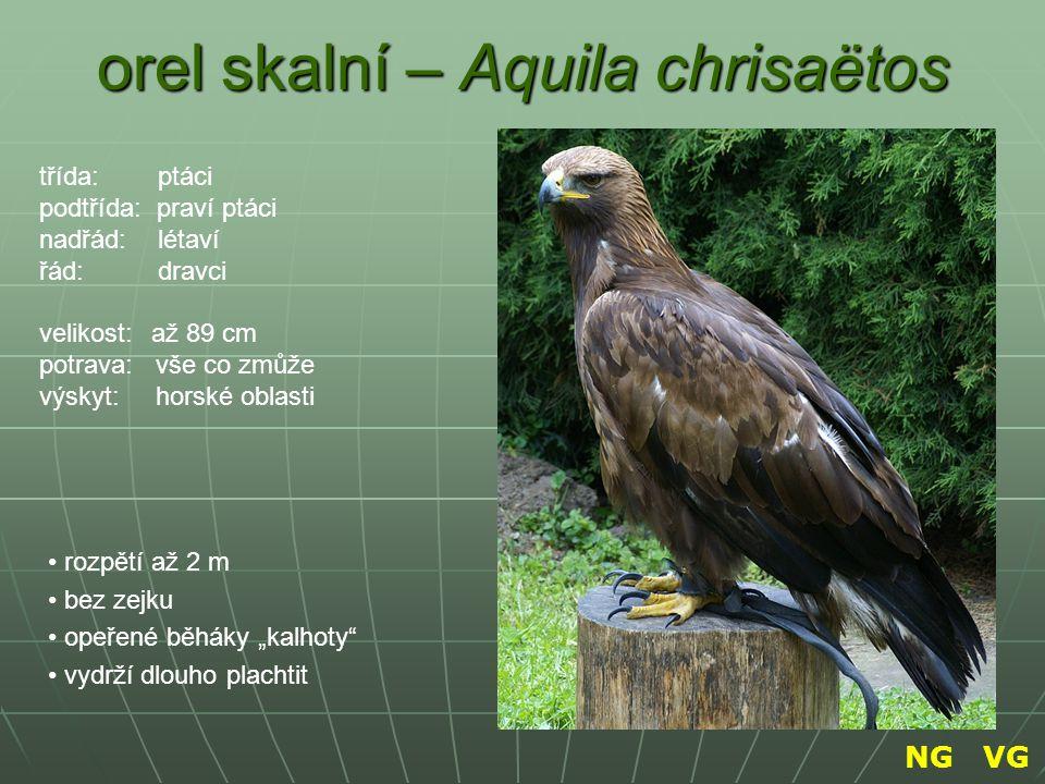 orel skalní – Aquila chrisaëtos