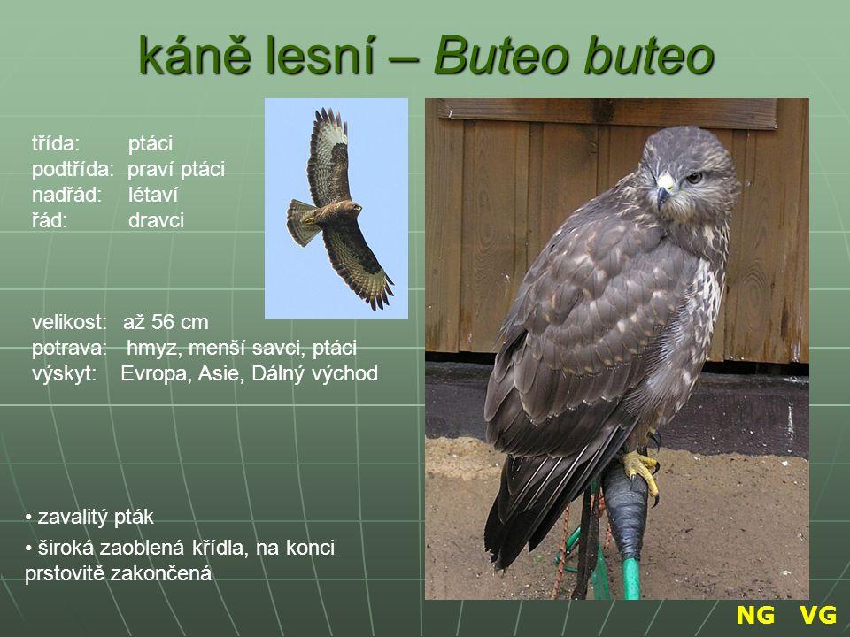 káně lesní – Buteo buteo
