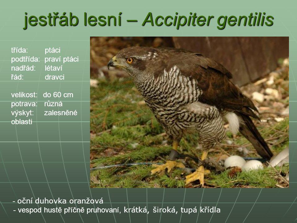 jestřáb lesní – Accipiter gentilis